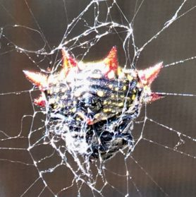 Picture of Gasteracantha cancriformis (Spiny-backed Orb-weaver) - Ventral,Webs
