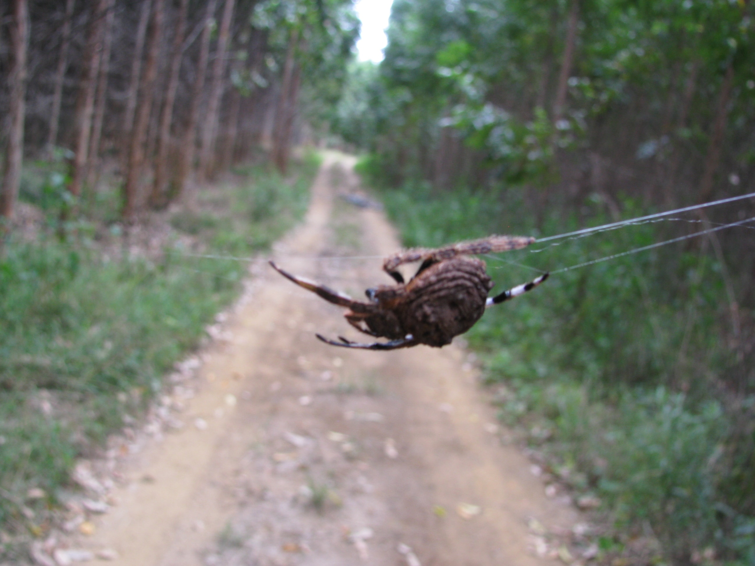 Picture of Caerostris (Bark Spiders) - Lateral