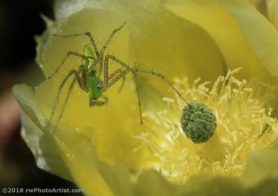 Picture of Peucetia spp. - Eyes