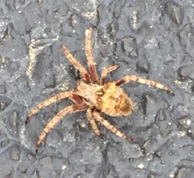 Picture of Araneus saevus - Dorsal