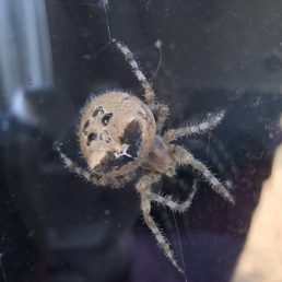 Featured spider picture of Araneus illaudatus (Texas Orb-weaver)