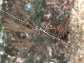 Picture of Neoscona spp. (Spotted Orb-weavers) - Lateral,Webs