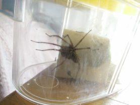 Picture of Eratigena spp. - Male - Lateral