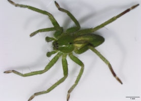 Picture of Micrommata ligurina - Male - Dorsal,Eyes