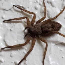 Featured spider picture of Lauricius hooki