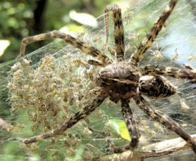 Picture of Dolomedes scriptus (Striped Fishing Spider) - Female - Dorsal,Spiderlings