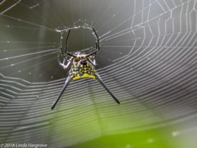 Picture of Macracantha arcuata (Long-horned Orb-weaver, Curved Spiny Spider) - Webs