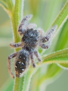 Picture of Phidippus purpuratus - Dorsal