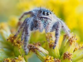 Picture of Phidippus purpuratus - Eyes