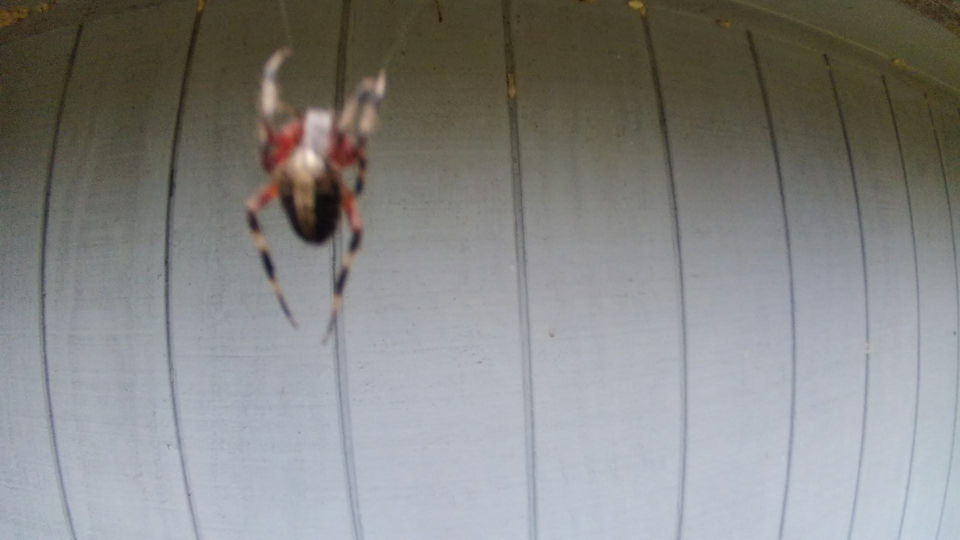 Picture of Neoscona domiciliorum (Spotted Orb-weaver) - Dorsal