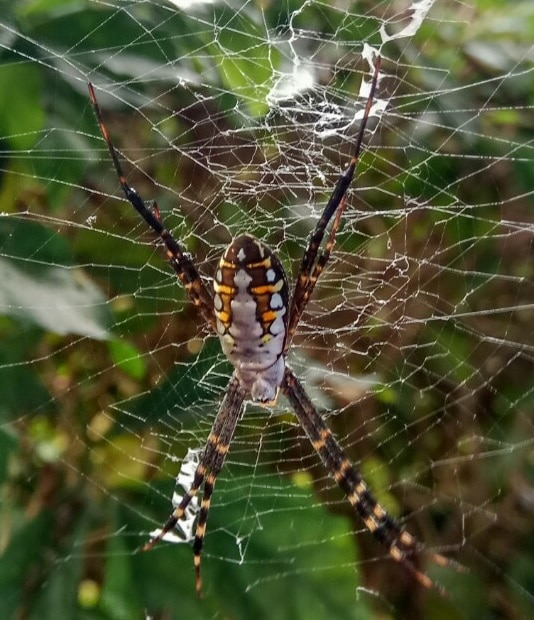 Picture of Argiope catenulata (Grass Cross Spider) - Dorsal,Webs