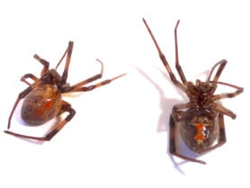 Picture of Latrodectus hesperus (Western Black Widow) - Dorsal,Ventral