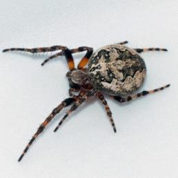 Featured spider picture of Larinioides patagiatus