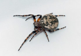 Picture of Larinioides patagiatus - Female - Dorsal