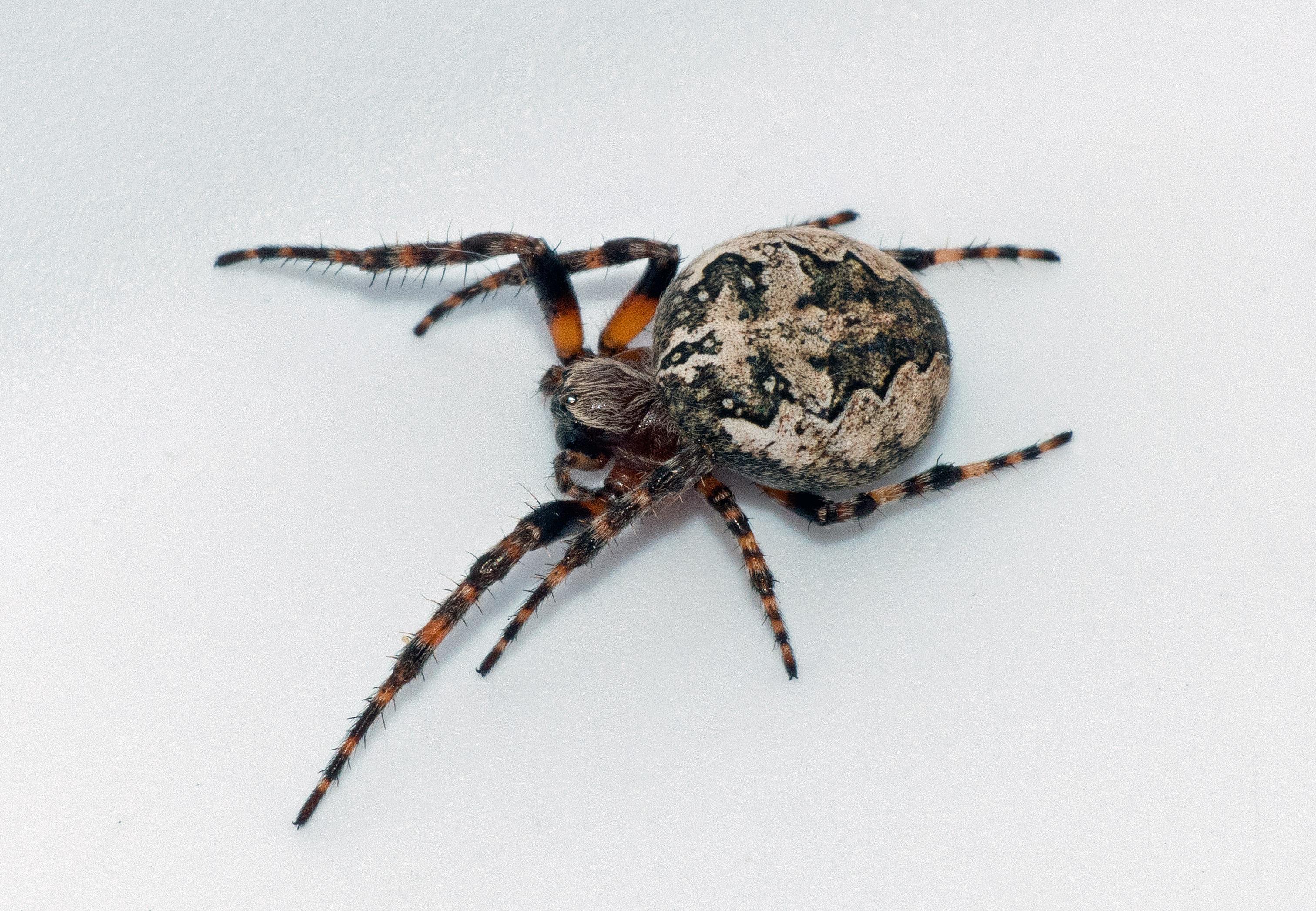 Picture of Larinioides patagiatus - Female - Dorsal