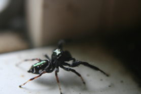 Picture of Paraphidippus aurantius (Emerald Jumping Spider) - Lateral