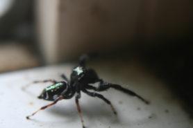 Picture of Paraphidippus aurantius (Emerald Jumping Spider) - Lateral