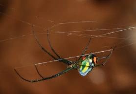 Picture of Leucauge argyrobapta (Mabel Orchard Orb-weaver) - Female - Lateral,Webs