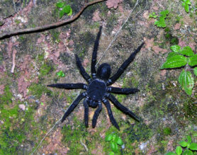 Picture of Liphistius malayanus - Female - Dorsal
