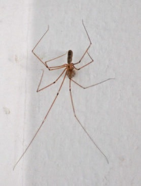 Picture of Pholcus phalangioides (Long-bodied Cellar Spider) - Female - Dorsal,Egg Sacs