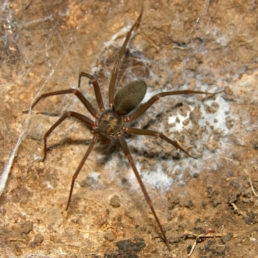 Featured spider picture of Loxosceles malintzi