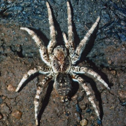 Featured spider picture of Lycosa singoriensis