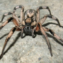 Featured spider picture of Lycosa aragogi