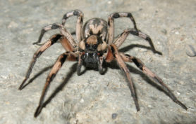 Picture of Lycosa aragogi - Female - Eyes
