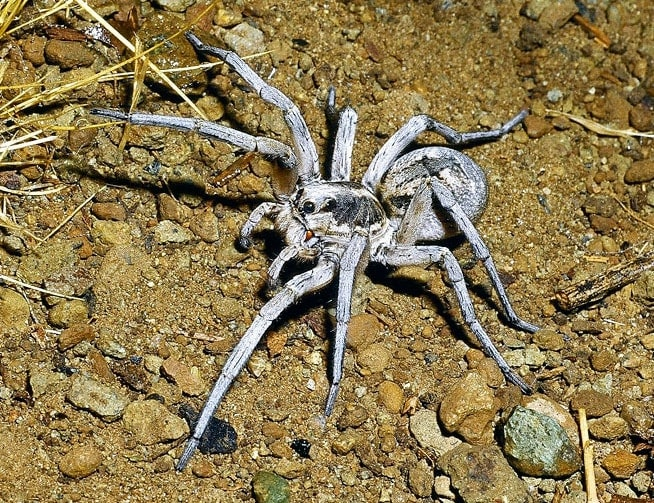 Picture of Hogna carolinensis (Carolina Wolf Spider) - Female - Dorsal