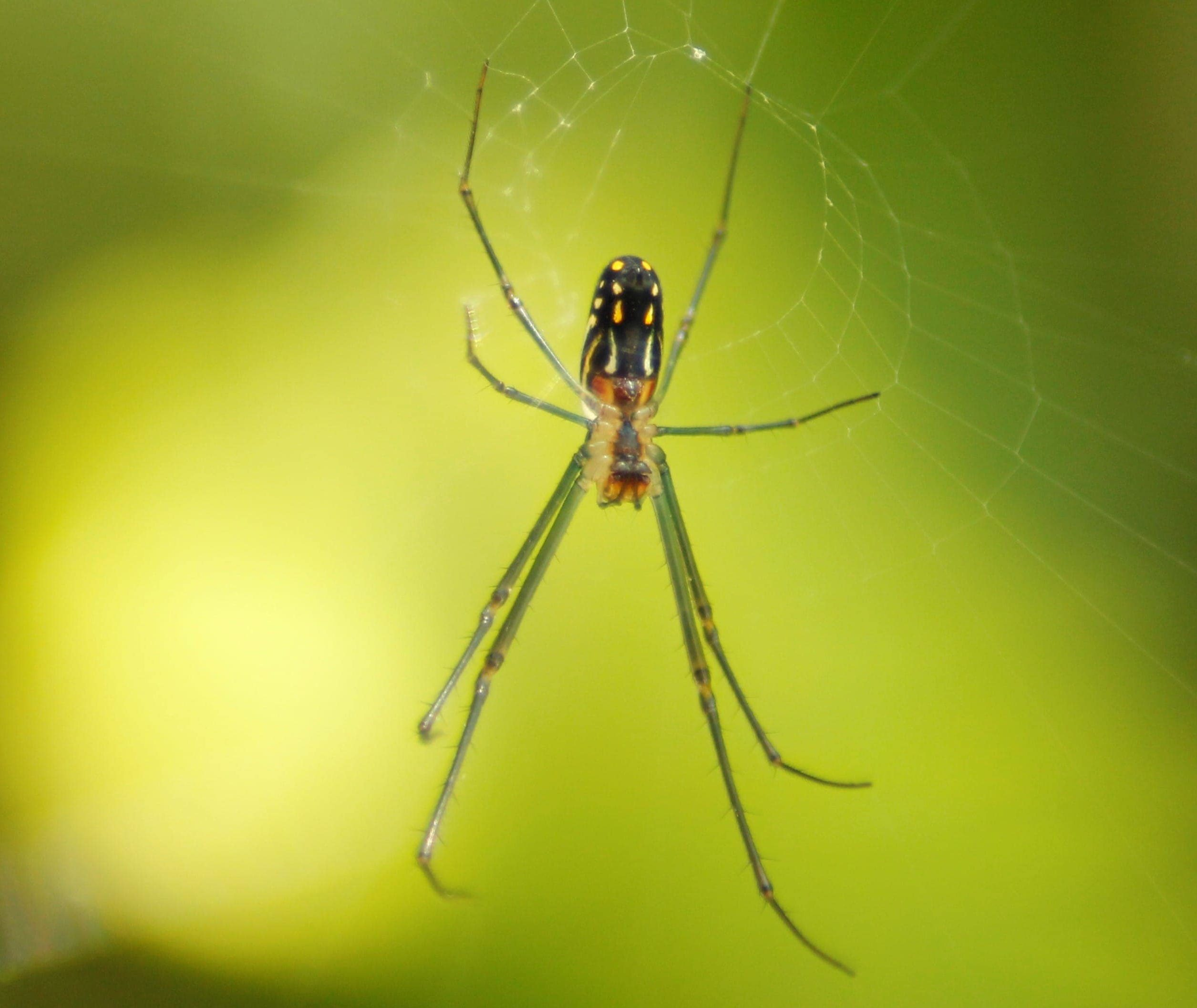 Picture of Leucauge argyra - Ventral,Webs