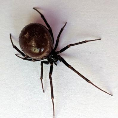 Picture of Steatoda grossa (False Black Widow) - Female - Dorsal