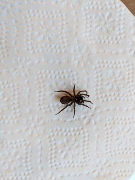Picture of Lycosidae (Wolf Spiders) - Ventral