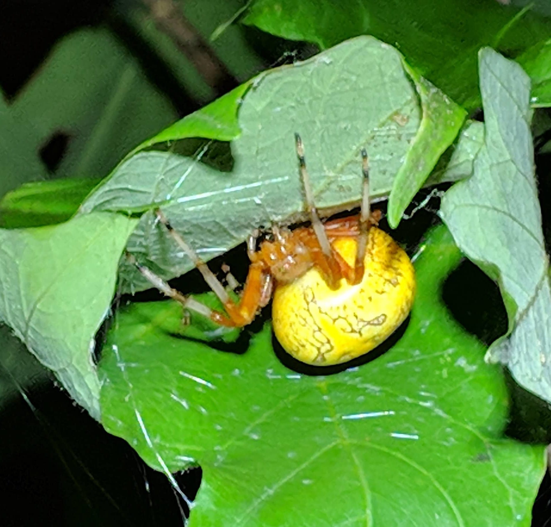 Picture of Araneus marmoreus (Marbled Orb-weaver)