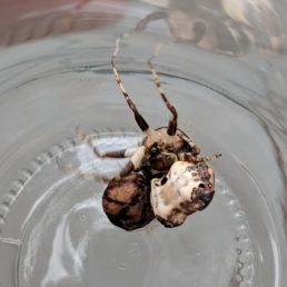 Featured spider picture of Celaenia excavata (Bird-dropping Spider)