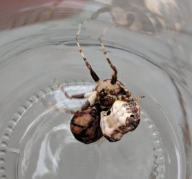 Picture of Celaenia excavata (Bird-dropping Spider) - Female - Dorsal,Egg sacs