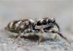 Picture of Salticus scenicus (Zebra Jumper) - Female - Lateral