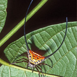 Featured spider picture of Macracantha arcuata (Long-horned Orb-weaver, Curved Spiny Spider)