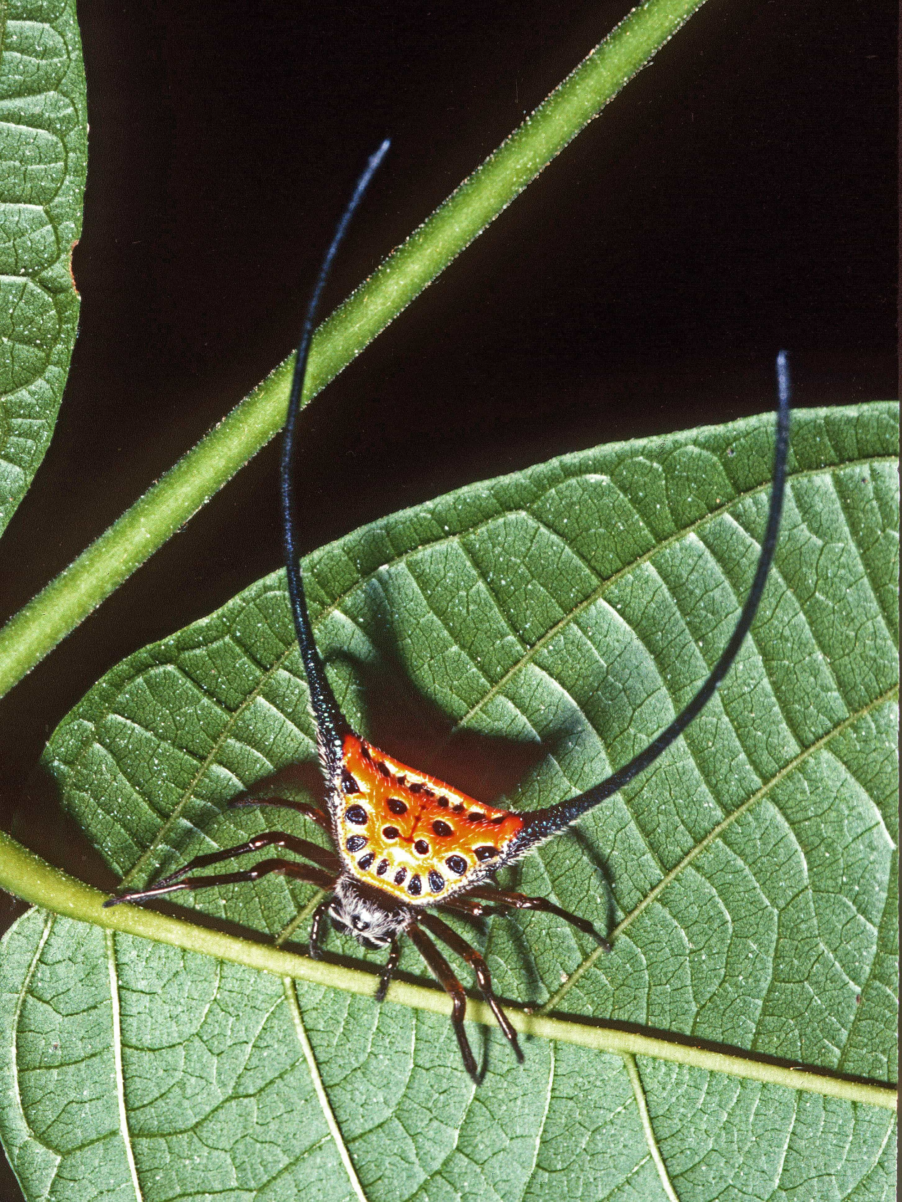 Picture of Macracantha arcuata (Long-horned Orb-weaver, Curved Spiny Spider) - Female - Dorsal