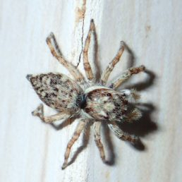 Featured spider picture of Menemerus fulvus