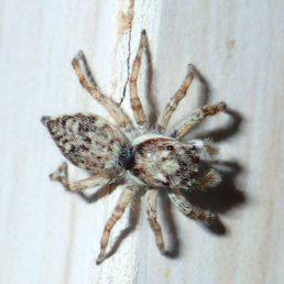 Featured spider picture of Menemerus fulvus