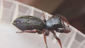 Picture of Metacyrba taeniola - Female - Lateral