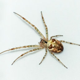 Featured spider picture of Metellina segmentata