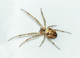 Picture of Metellina segmentata - Female - Dorsal