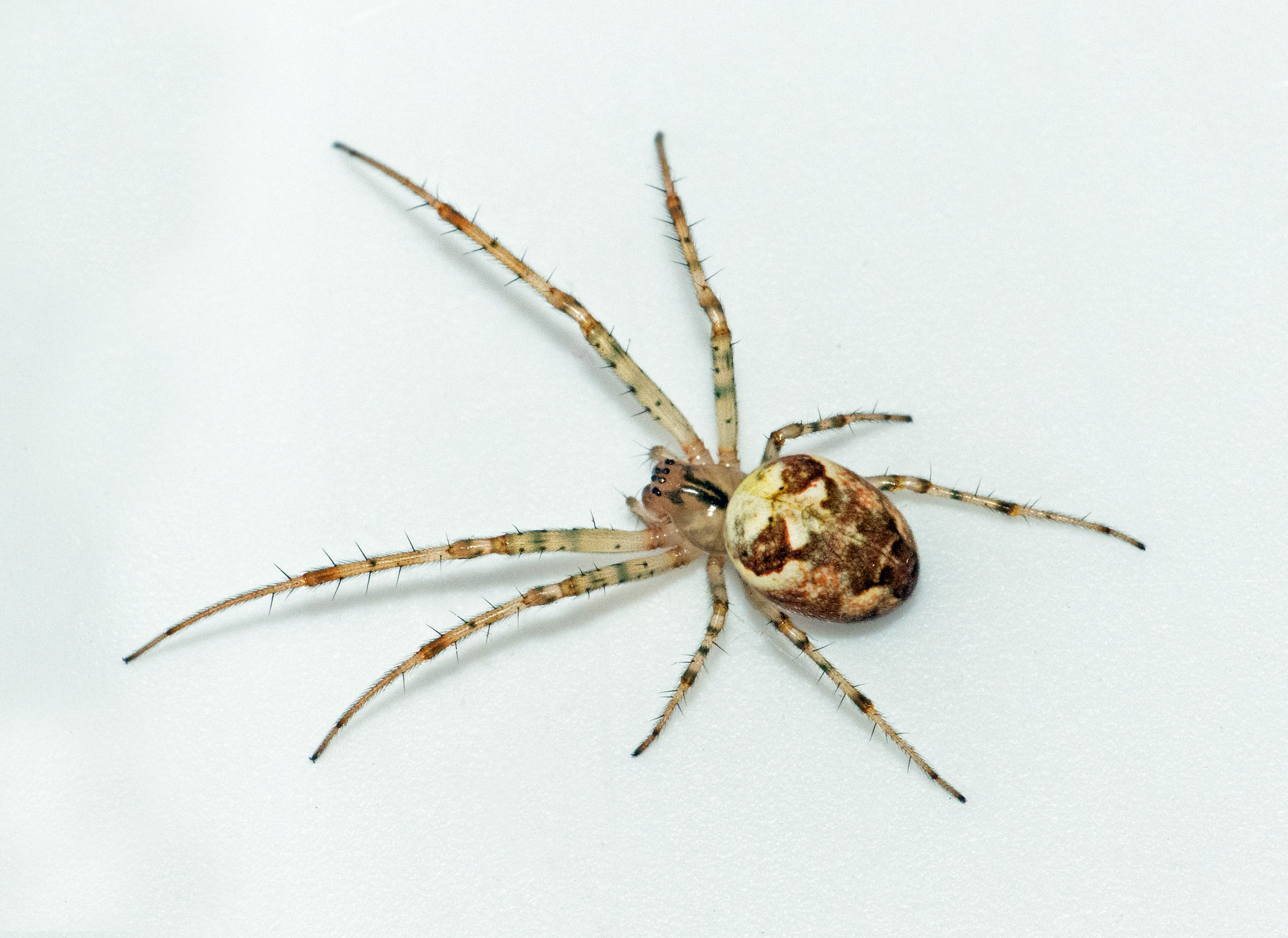 Picture of Metellina segmentata - Female - Dorsal