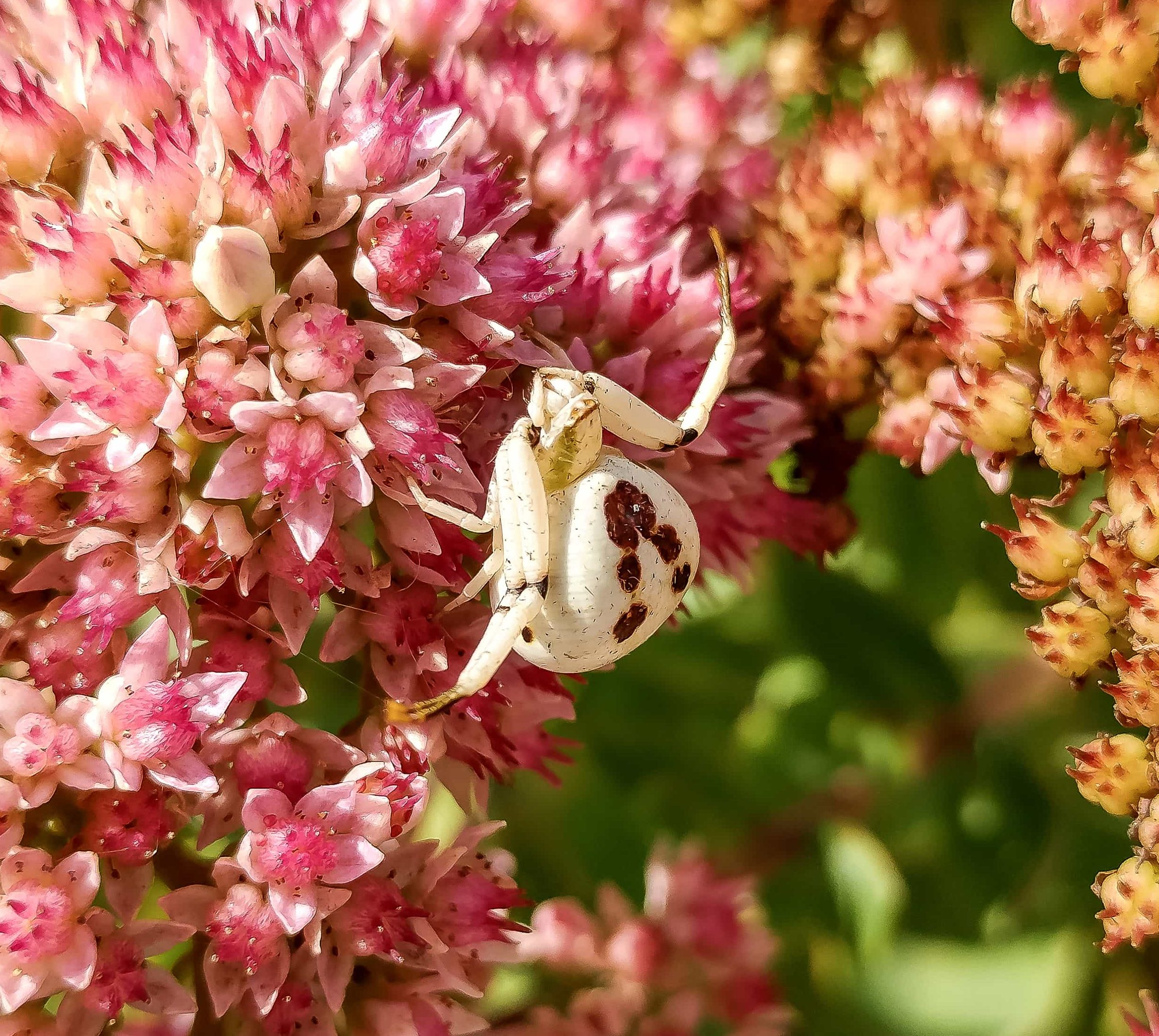 Picture of Misumenoides formosipes (White-banded Crab Spider) - Dorsal