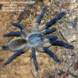 Featured spider picture of Monocentropus balfouri (Socotra Island Blue Baboon)