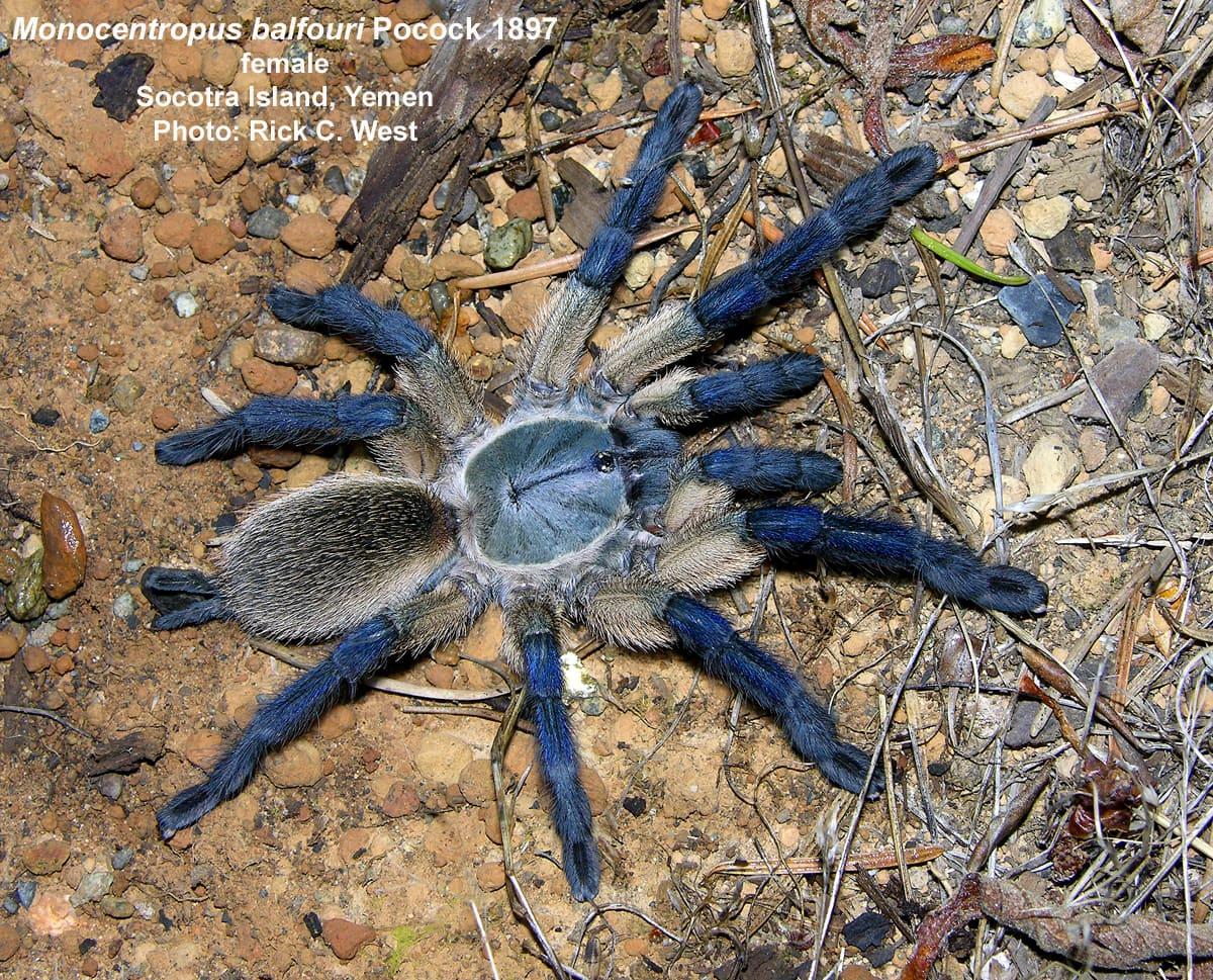 Picture of Monocentropus balfouri (Socotra Island Blue Baboon) - Female - Dorsal