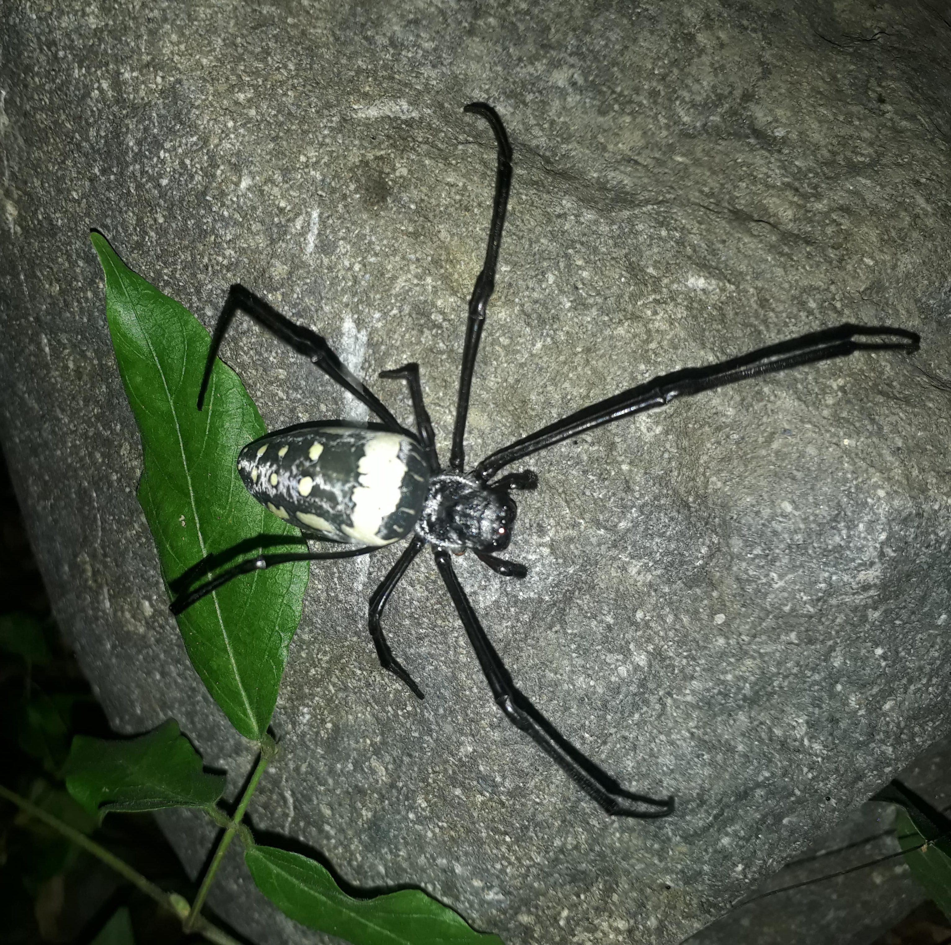 Picture of Trichonephila antipodiana (Batik Golden Web Spider) - Dorsal