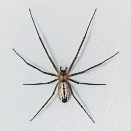 Featured spider picture of Neriene litigiosa (Sierra Dome Spider)