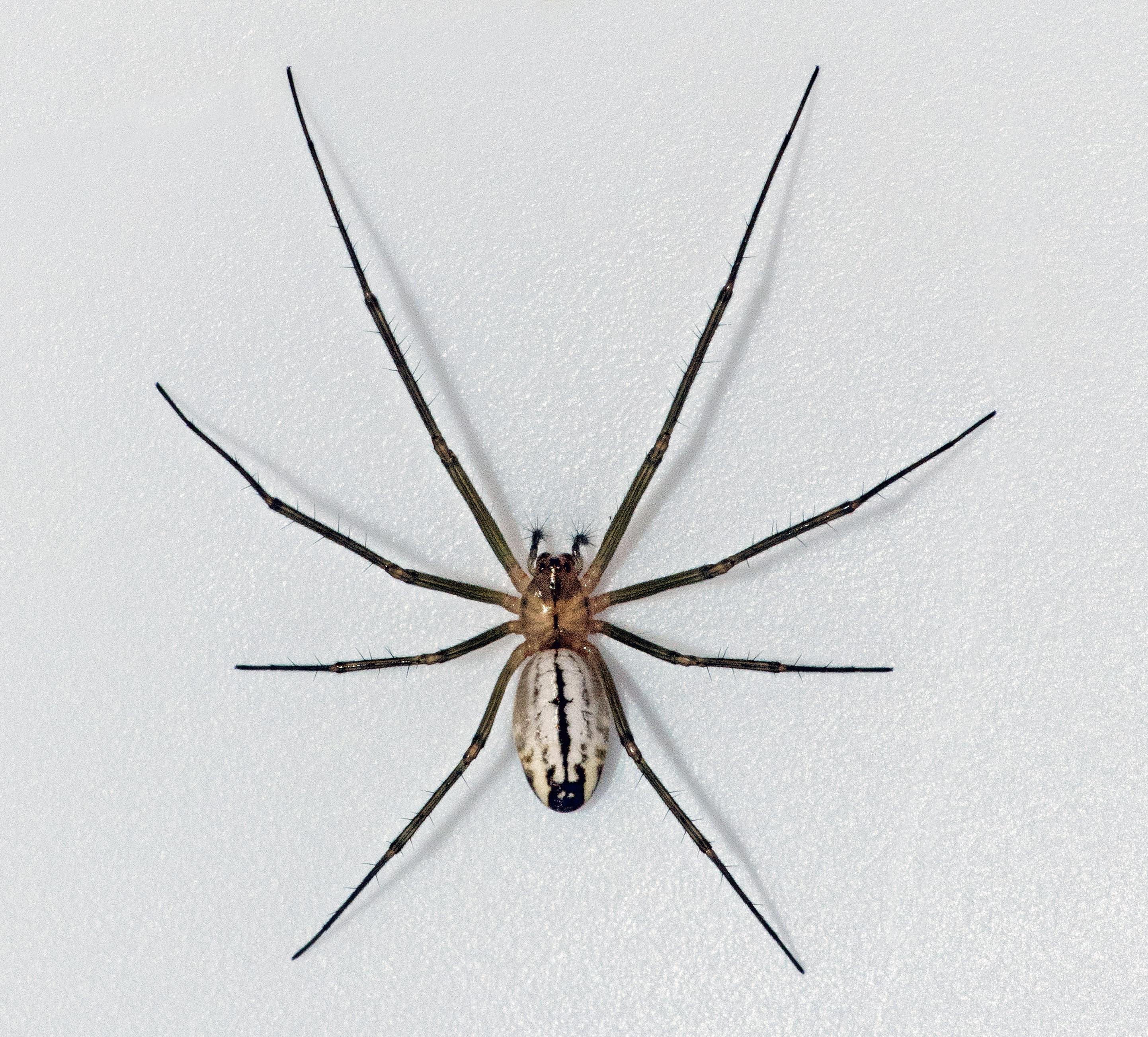 Picture of Neriene litigiosa (Sierra Dome Spider) - Female - Dorsal